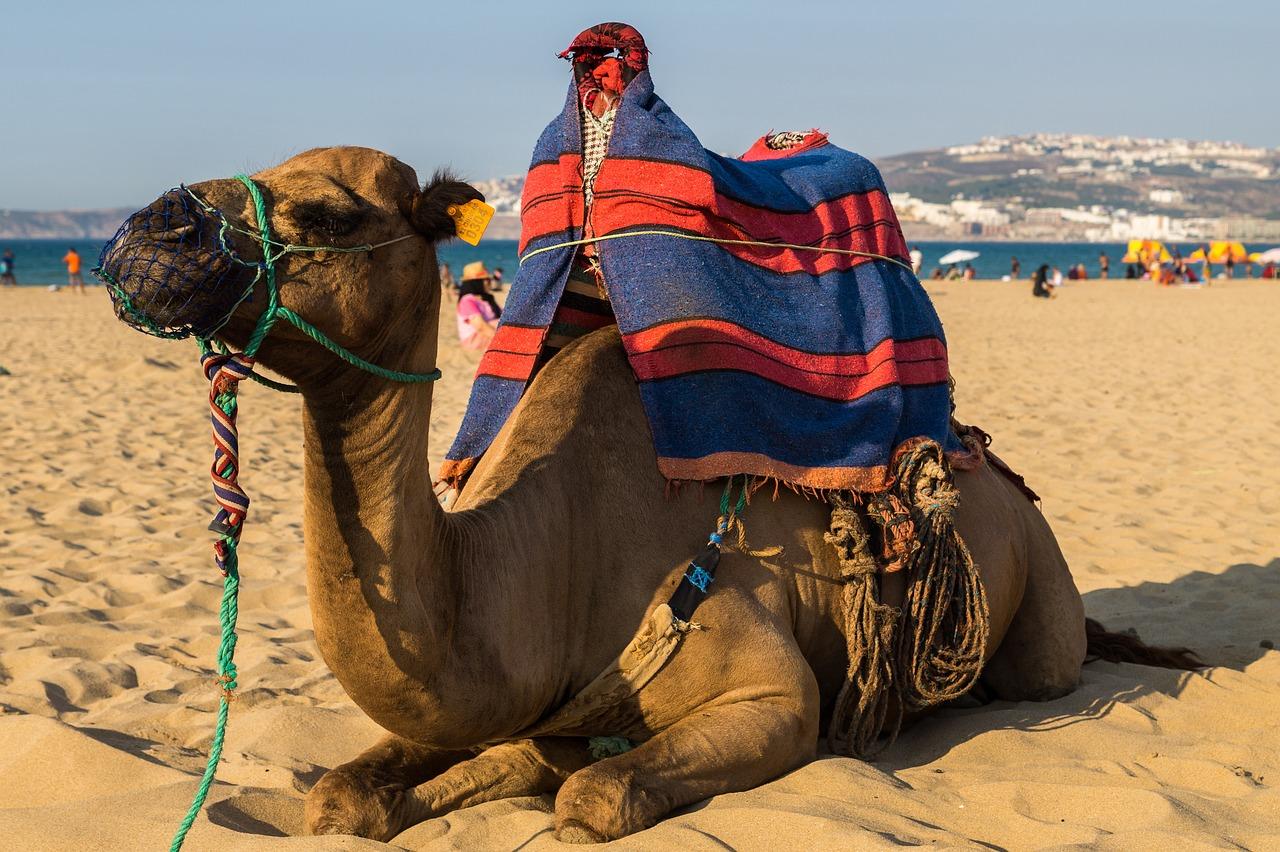 Kamel in Targa